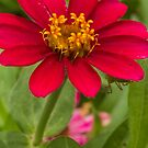The Red Burgandy Flower by vasasphoto