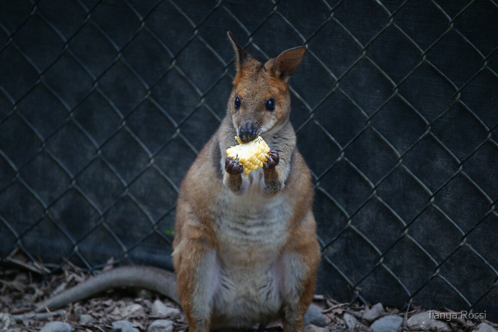 Red-Legged Pademelon by Tanya Rossi