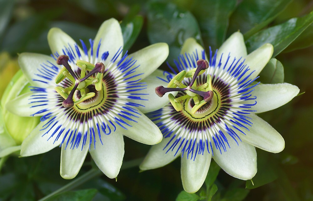 Passion flower twins by walstraasart