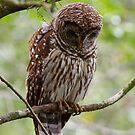 Barred Owl by Joe Elliott
