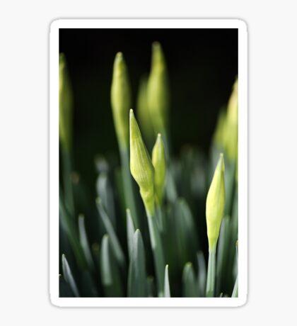 Daffodil Buds Sticker