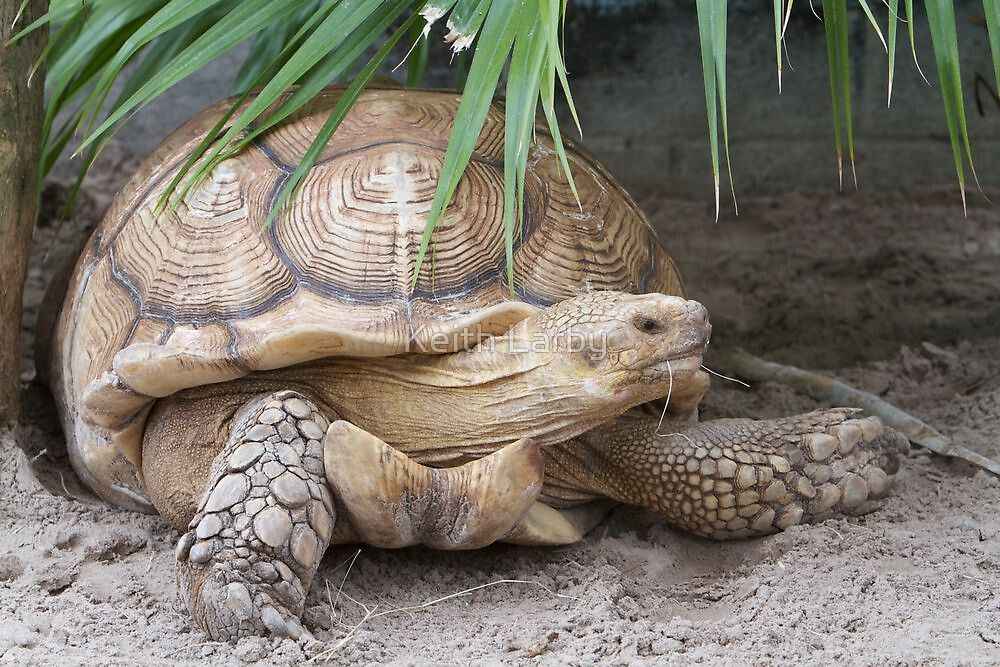 Tortoise in Florida by Keith Larby