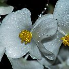White Begonias by Tori Snow
