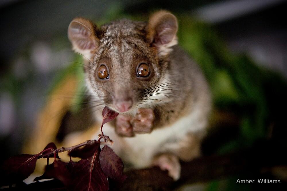 """Gumnut"" Ringtail Possum by Amber  Williams"