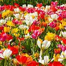 Tulips Galore by SERENA Boedewig