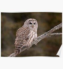 Barred Diagonally / Barred Owl Poster