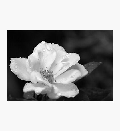 Rose and Water Droplets in Black and White Photographic Print