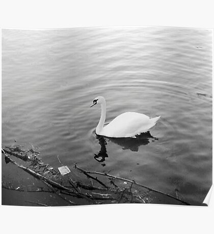White solitary Swan. Poster