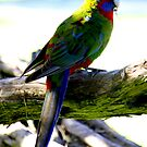 rosella. wilsons prom - victoria by tim buckley | bodhiimages