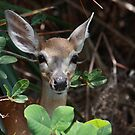Endangered Key Deer by D R Moore