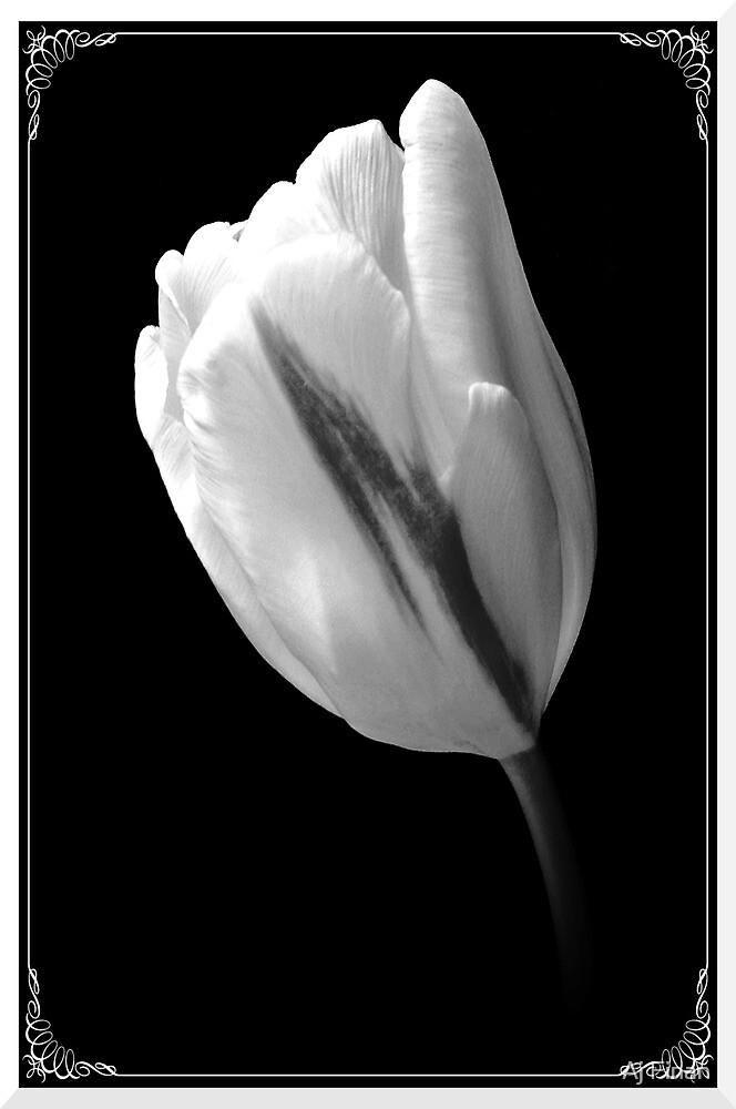 A White Tulip. by Aj Finan