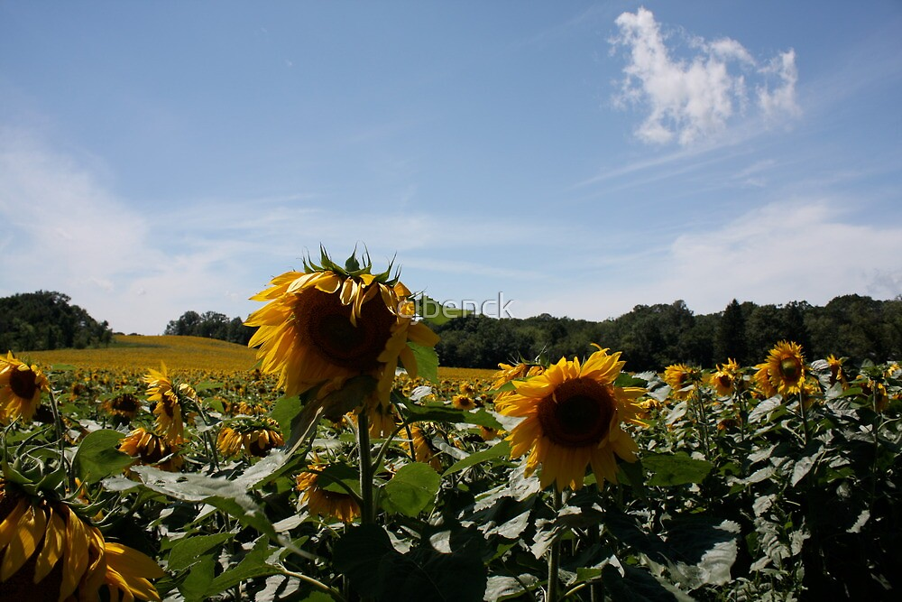 Sunflower Fields by cjbenck