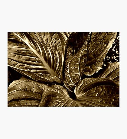 Skunk Cabbage - Sepia Photographic Print