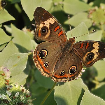 Buckeye  Beauty by digiphotos