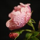 The Rose ~ And It's Bud ~ by Sandra Cockayne