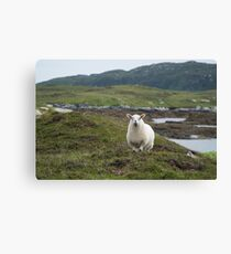 The prettiest sheep Canvas Print