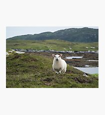 The prettiest sheep Photographic Print