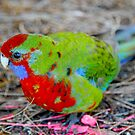 young rosella. the prom - victoria by tim buckley | bodhiimages