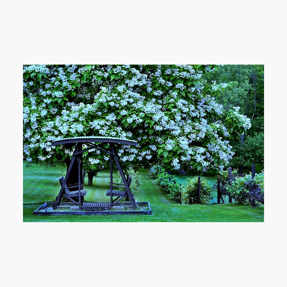 Catalpa-Baum in voller Blüte Fotodruck