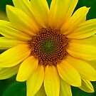 Sunflower by LeeAnne Emrick