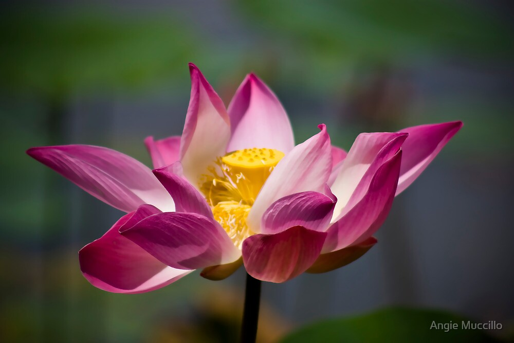 Lotus by Angie Muccillo