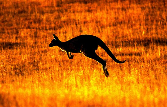 Kangaroo Sunset by naturalnomad