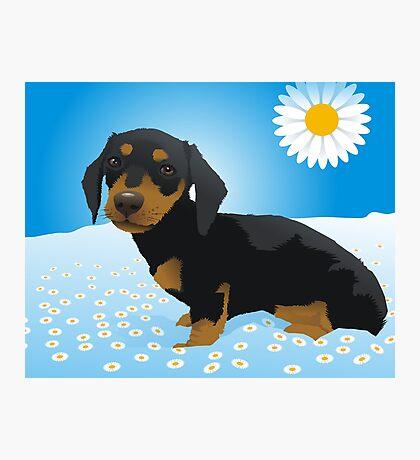 Daisy dachshund Photographic Print