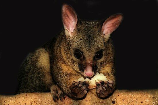 Brush Tail Possum  by Michael Rowley
