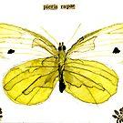 Pieris rapae (Cabbage Butterfly) by Carol Kroll