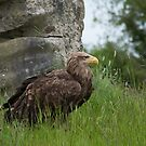 Irish Sea Eagle by Martina Fagan