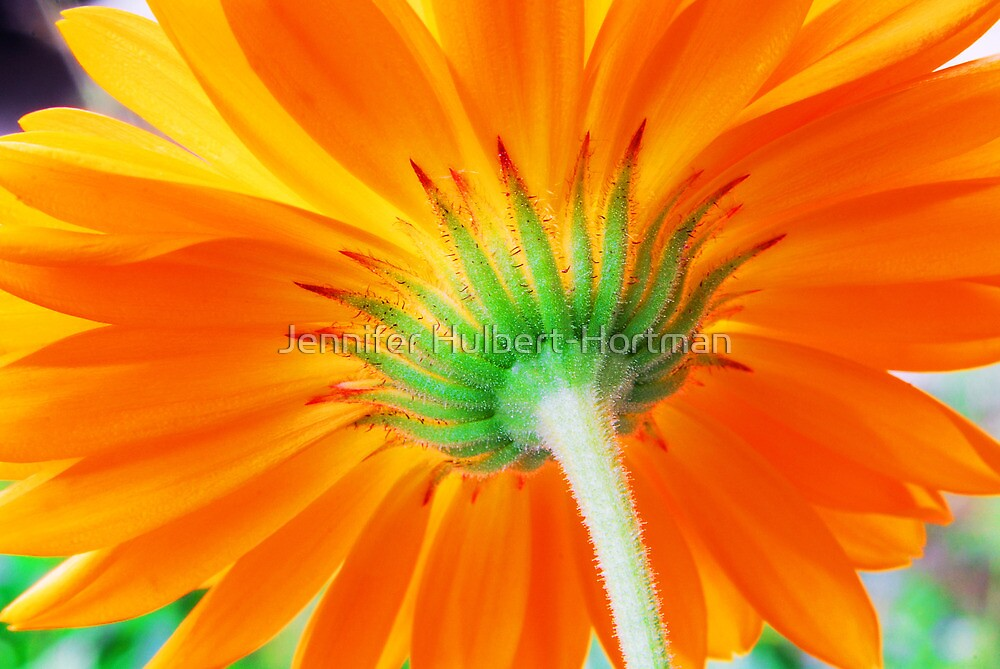 Orange Perfection  by Jennifer Hulbert-Hortman