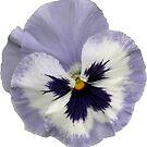 Stiefmütterchen-Blüte 2 von Gourmetkater