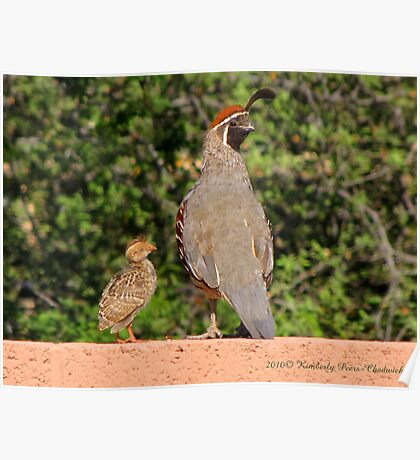 Gambel's Quail (Male) & Chick Poster