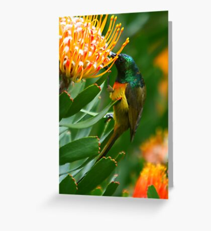 Orange-breasted Sunbird on Protea Greeting Card