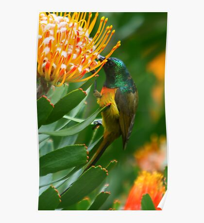 Orange-breasted Sunbird on Protea Poster