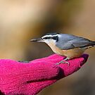 A Bird In The Hand / Red Breasted Nuthatch by Gary Fairhead