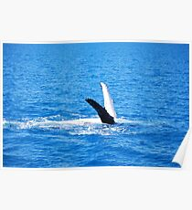 Majestic humpback whales 4 - Australia Poster