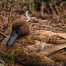 The Resting Duck by vasasphoto