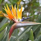 """""""Bird of Paradise"""" by Sophie Lapsley"""