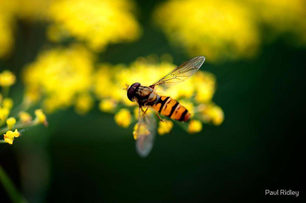 Fennel Fly by Paul Ridley