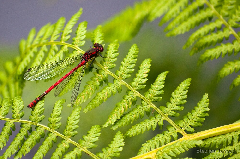 Red Dragonfly by AttiPhotography