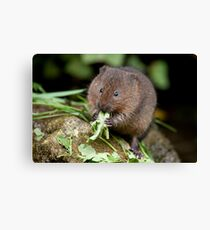 Water vole Canvas Print