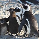 Family photo-african penguins by Anthony Goldman