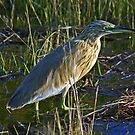 Squacco heron by Anthony Goldman