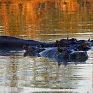 Hippos in savuti channel at dusk by Anthony Goldman