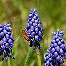 Wild Grape Hyacinths and Bee by Joe Elliott