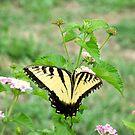 Papilio glaucus by Ashley Frechette
