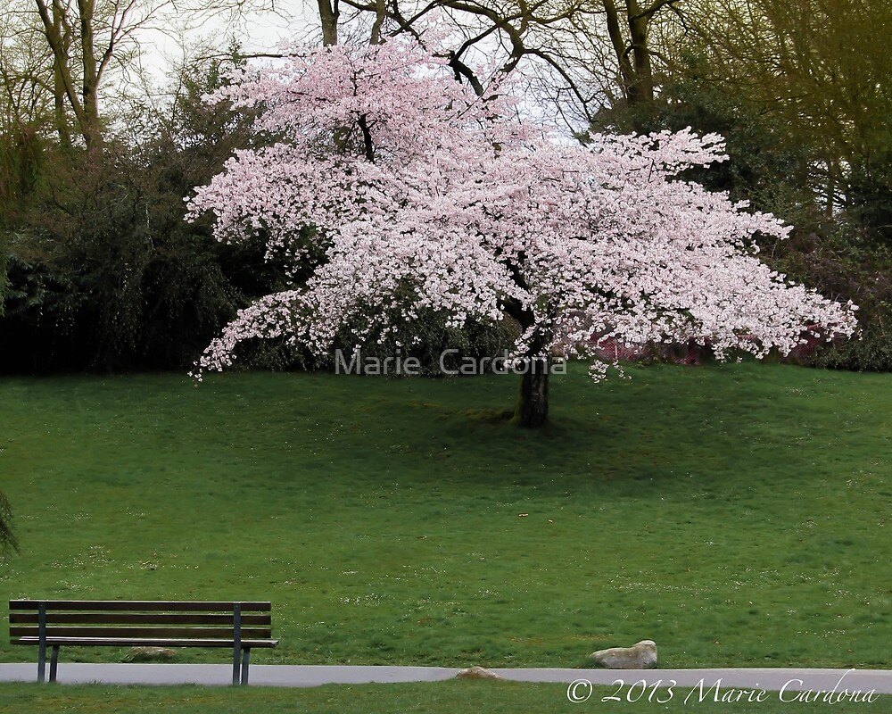 Cherry Blossom Tree by Marie  Cardona
