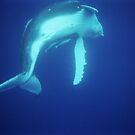 Baby Humpback Whale - Tonga by fionapine