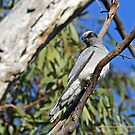 Black-faced Cuckoo-shrike by Emmy Silvius